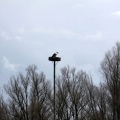 Ooienvaars nest nu bewoond op 12-04-2013