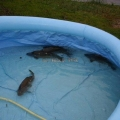 image vis-uitgezetting-in-ooijpolder-2011-10-jpg