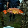 image vis-uitgezetting-in-ooijpolder-2011-15-jpg