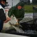 image vis-uitgezetting-in-ooijpolder-2011-2-jpg