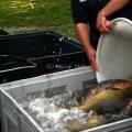 image vis-uitgezetting-in-ooijpolder-2011-27-jpg
